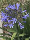 Agapando kwiaty zdjęcia stock