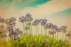 Agapantów kwiatów rocznika filtra skutek Fotografia Stock