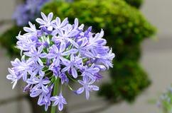 Agapantów kwiaty. Fotografia Stock