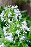 Agapantów kwiaty. Fotografia Royalty Free