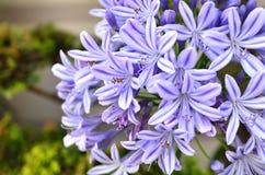 Agapantów kwiaty. Obrazy Royalty Free