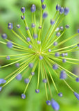 Agapantów kwiaty Fotografia Stock