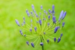 Agapantów kwiaty Obrazy Royalty Free