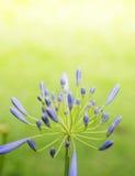 Agapantów kwiaty Zdjęcia Stock