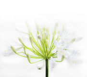 Agapantów kwiaty Zdjęcie Stock