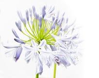 Agapantów kwiaty Obraz Stock