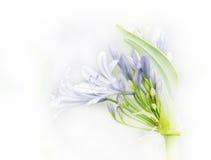 Agapantów kwiaty Obrazy Stock