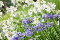 Agapant Campanulatus - piękni kwiaty Obraz Royalty Free