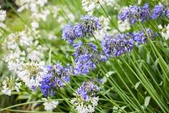 Agapant Campanulatus - piękni kwiaty Zdjęcia Royalty Free