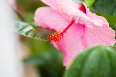 Agapant Campanulatus - piękni kwiaty Obraz Stock