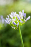 Agapant Campanulatus - piękni kwiaty Zdjęcie Stock
