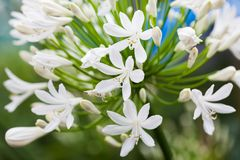 Agapant Campanulatus - piękni kwiaty Obrazy Royalty Free