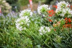 Agapant Campanulatus - piękni kwiaty Zdjęcia Stock