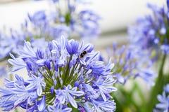 Agapant Campanulatus - piękni kwiaty w Kew ogródach Zdjęcia Stock