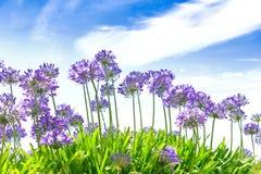 Agapant kwitnie niebieskiego nieba lato Fotografia Royalty Free