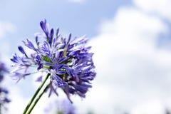 Agapant Kwitnie przeciw niebieskiemu niebu Obraz Royalty Free