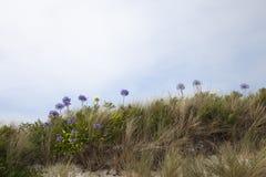 Agapant kwitnie, Tresco, wyspy Scilly, Anglia Zdjęcie Stock