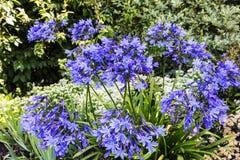 Agapant kwitnie w ogródzie Zdjęcie Royalty Free