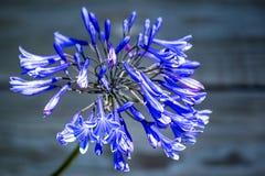 Agapant, miłość kwiat Obraz Royalty Free