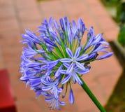 Agapant północy gwiazda, purpura kwiat Fotografia Royalty Free