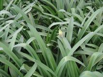 Agapant - rośliny i pączek Obrazy Royalty Free