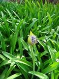 Agapant - rośliny i pączek Zdjęcie Royalty Free