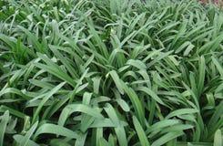 Agapant - rośliny Obrazy Royalty Free