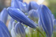 Agapant wody krople W deszczu Obrazy Royalty Free