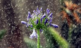 Agapanthas W deszczu Zdjęcie Royalty Free
