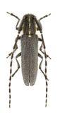agapanthia maculicornis Fotografia Stock
