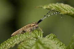 agapanthia villosoviridescens 免版税库存照片