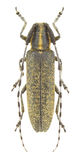 Agapanthia villosoviridescens Stock Photo