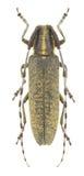 agapanthia villosoviridescens Zdjęcie Stock