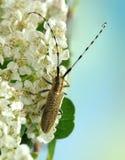 Agapanthia villosoviridescens Royalty Free Stock Photo