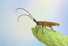 agapanthia villosoviridescens Zdjęcia Stock
