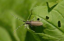 Agapanthia villosoviridescens Obraz Royalty Free