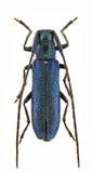 Agapanthia violacea Stock Image