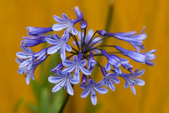Agapanthus « Dr. brouwer » Photo stock