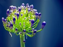 Agapanthus. Beautiful blue Agapanthus flower against blue background Stock Photography