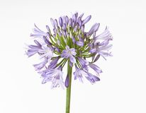 Agapanthus Fotos de Stock