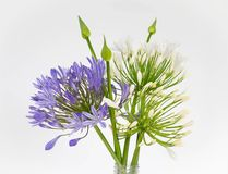 Agapanthus Royalty-vrije Stock Afbeelding