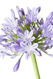 Agapanthus - African Lily Stock Photography