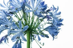 Agapanthus Royalty Free Stock Image