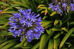 Agapanthus Stock Images