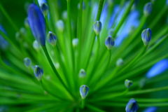 Agapanthus africanus. (Lily of the Nile royalty free stock photography