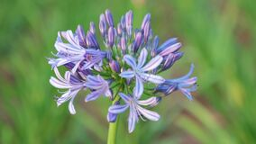 African Lily Agapanthus Africanus High Definition Footage. Agapanthus africanus or African lily flowers with a blurred background, high definition movie clip stock video footage