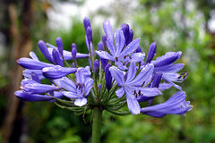 Agapanthus africanus (African lily) Stock Photography