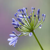 Agapanthus africanus (African lily) Stock Photos
