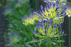 Agapanthus africanus or African lily Stock Photos