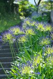 Agapanthus africanus or African lily Stock Photography